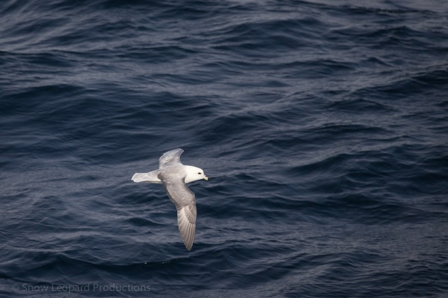 Fulmar at sea