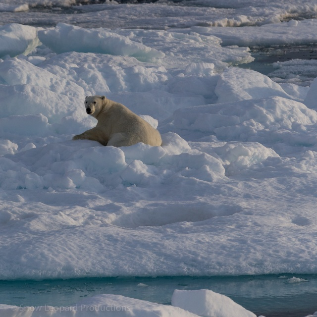 Polar bear wakes up