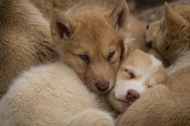 Greenland puppies