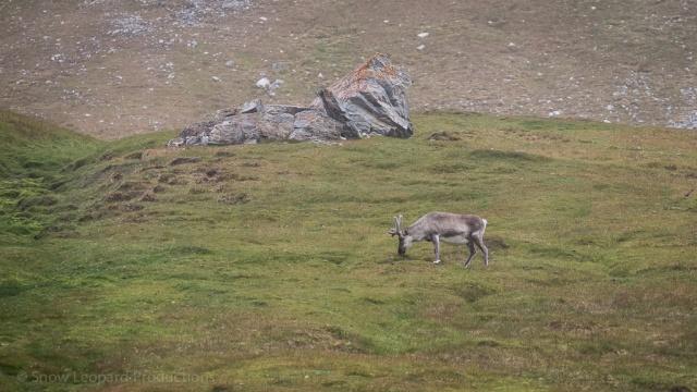 Velvety reindeer grazing at Alkhornet