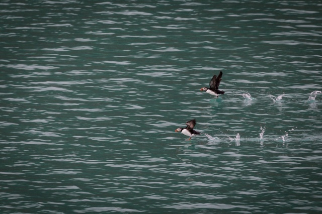 Puffins on the wing