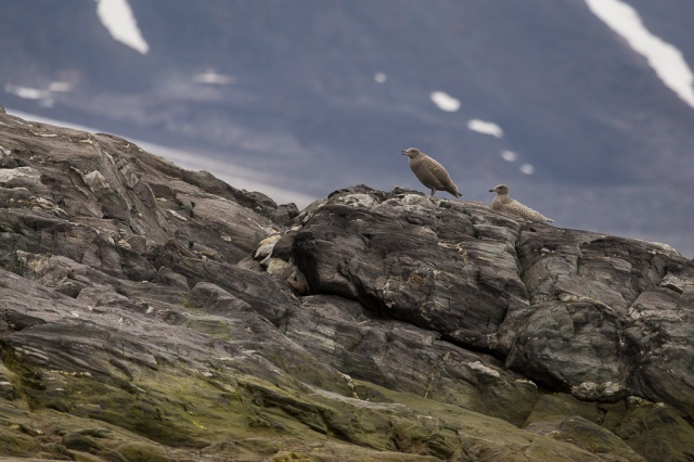 Young glaucous gulls