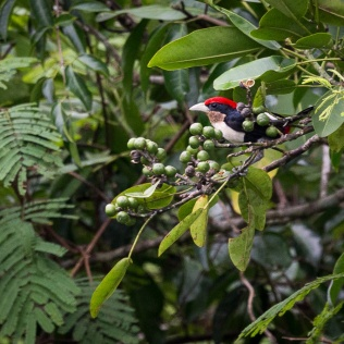 Black-girdled Barbet